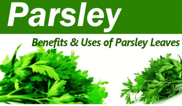 Photo of Parsley Leaves: Benefits and Uses of Parsley Leaves