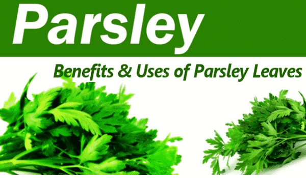 Parsley Leaves: Benefits and Uses of Parsley Leaves