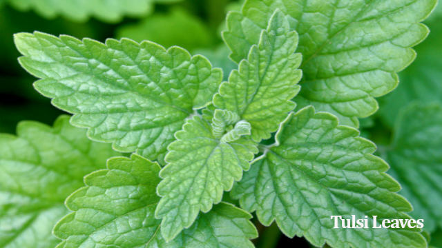 Tulsi leaves for acidity